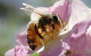 abeille-train-butiner+3202003